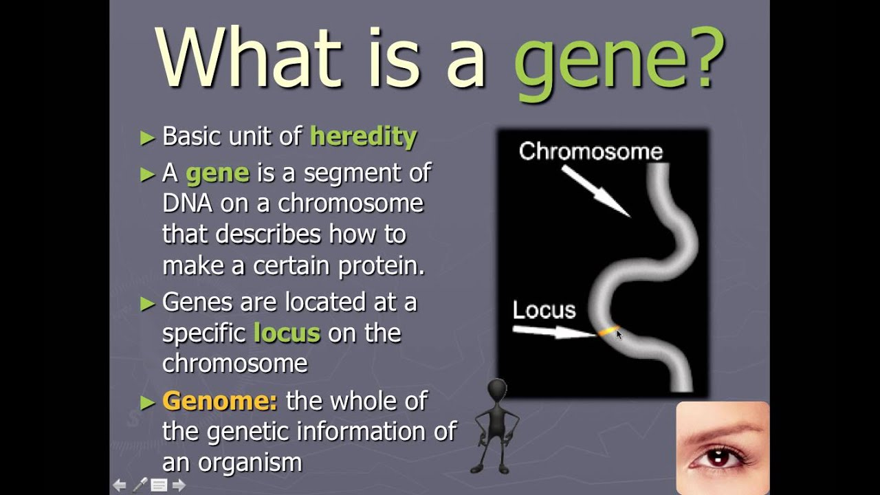 Chromosomes  Genes  And Alleles  Ib Biology