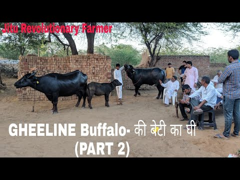 (PART 2) GHEELine- Daughter Buffalo- KAVITA -Ghee 2 KG per day- Evening Milk Recorded 24.3.2018