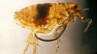 Video Bacteria in ancient flea may be ancestor of the Black Death download MP3, 3GP, MP4, WEBM, AVI, FLV Mei 2018