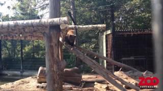 Bjørneunger bestiger ny platform | Copenhagen Zoo