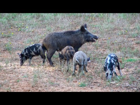 Bowhunting Texas HOGS *SOW WITH PIGLETS*