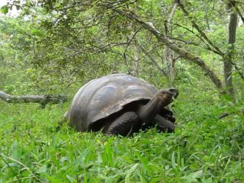 Вопрос: Сколько лет живёт большая слоновая черепаха?