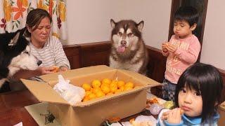 シベリアンハスキー犬 クッキーの友達 ぎんちゃん農園から みかんをいた...