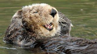 Live Sea Otter Cam  Monterey Bay Aquarium