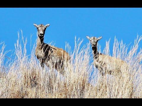 Ovis gmelini ophion (Cyprian Wild Sheep, Cyprus Mouflon) Αγρινό