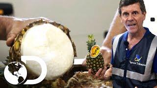 Piñas rellenas de cocaína | Control de fronteras | Discovery Latinoamérica