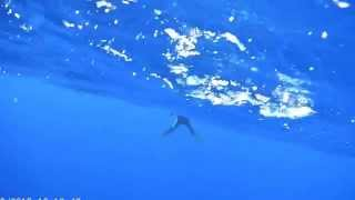 wild dolphin stuck on a drifting hook set…