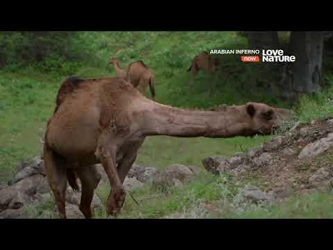 Мир диких животных. Дикая природа. Аравийская пустыня 🏜.Сезон дождей - Видео онлайн