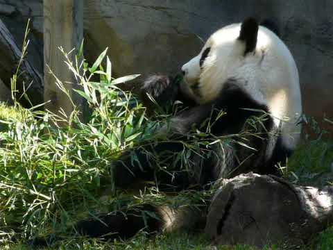 The eating Giant panda