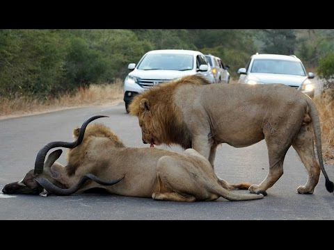 Thumbnail: 2 Male Lions Kill Kudu in the Middle of the Road - Latest Wildlife Sightings