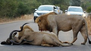 2 Male Lions Kill Kudu in the Middle of the Road - Latest Wildlife Sightings