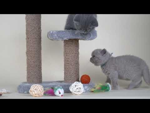 Британские котята Maximus & Marcello