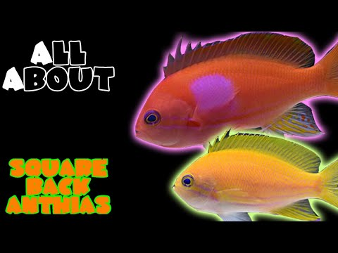 All About The Square Back Anthias Or Purple Blotch Basslet Or Square Anthias