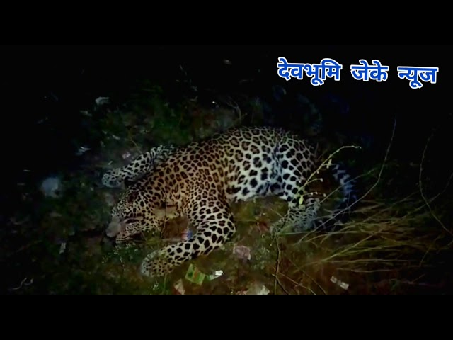 ऋषिकेश में सड़क दुर्घटना में तेंदुए की मौत।