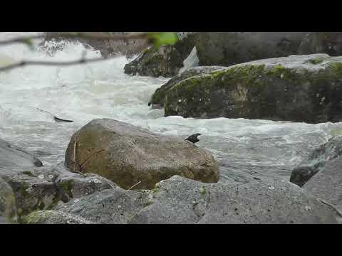Melros de Água em Alvoco da Serra