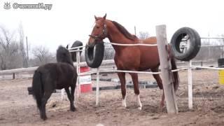 Пони и большой конь знакомятся