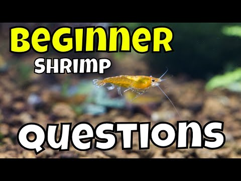 Beginner Shrimp for Freshwater Aquariums