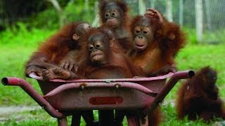 Orangután vs Aceite de Palma
