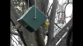 Rollerfeeder - House Finch And Goldfinches Feeding, Nearby Chickadee.