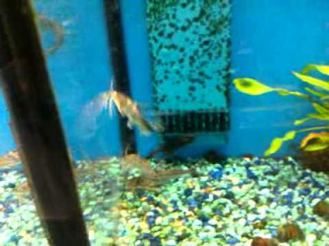 Plecostomus lg fish youtube for Can you buy a fishing license at walmart