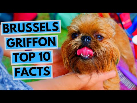 Brussels Griffon  TOP 10 Interesting Facts
