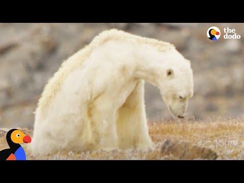 Starving Polar Bear Eats Trash | The Dodo