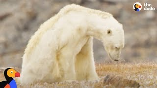 Starving Polar Bear Eats Trash | The Dodo