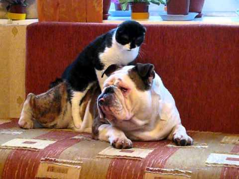 Bulldog Cat massage