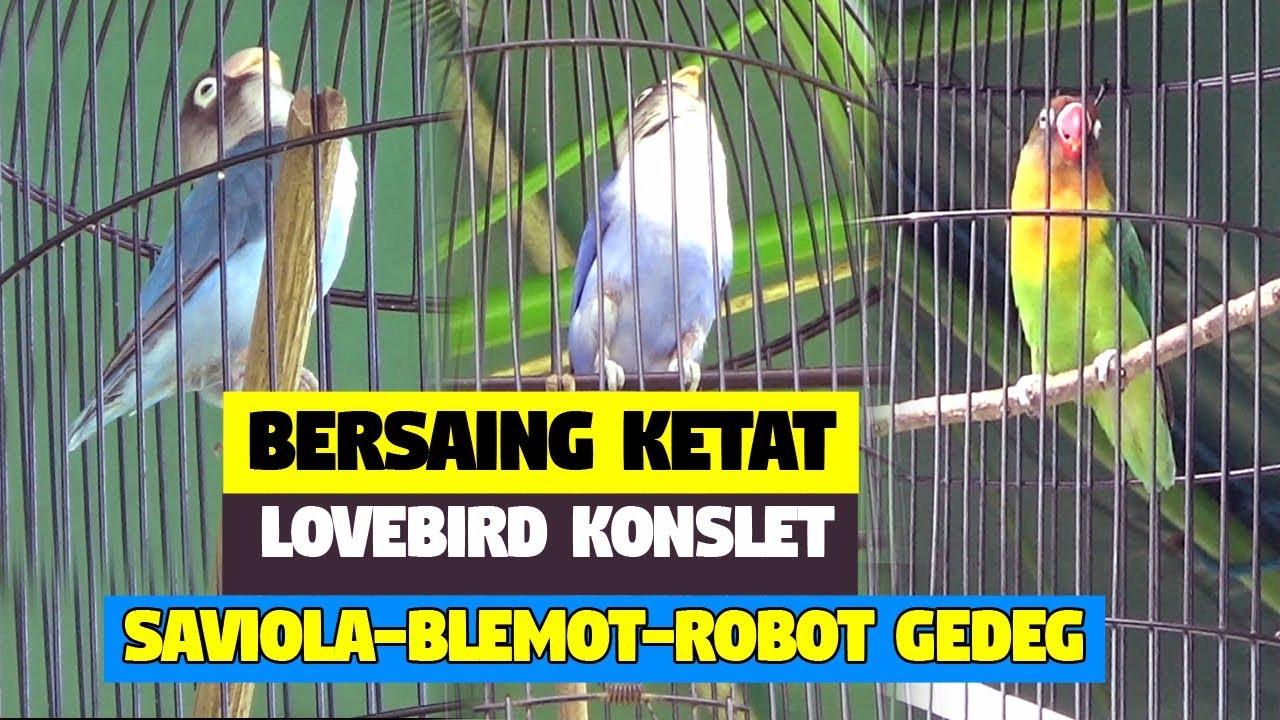 Unduh 960+ Foto Gambar Burung Lovebird Robot HD Terbaru Gratis
