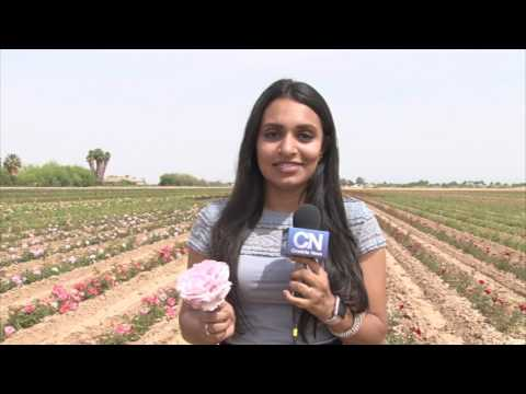 Rose cultivation blooms in the Valley | Cronkite News