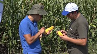 Тимак Агро - подхранване в царевица - отлични резултати в Койнаре