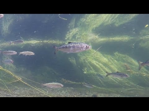 Chinook Salmon Smolt Migration November 2018