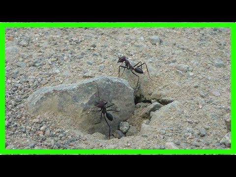 Breaking News   Surprising findings reveal desert ants orient to the geomagnetic field