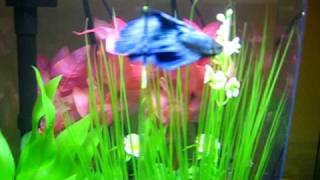 Culligan The Betta Fish In His 5 Gallon Eclipse Hex Tank