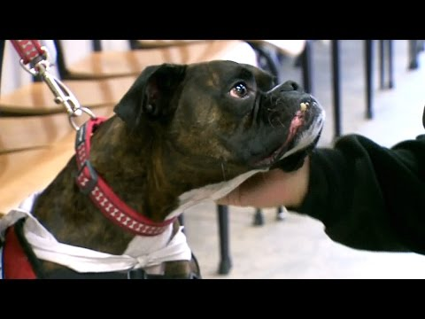 Therapy dogs: Researchers studying mental health benefits