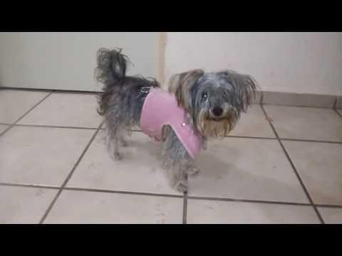 Yorkie Minni puppy. Dog Yorkshire terrier princess. Raza pequeña y muy inteligente. Cachorra