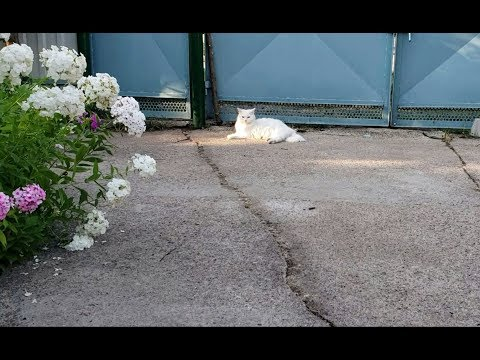 Turkish Angora cat in the yard