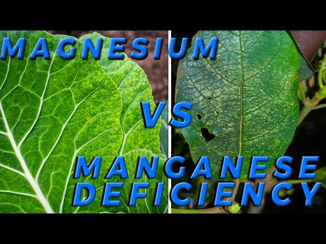 Lesson 5: How to Distinguish Magnesium Vs Manganese Deficiency