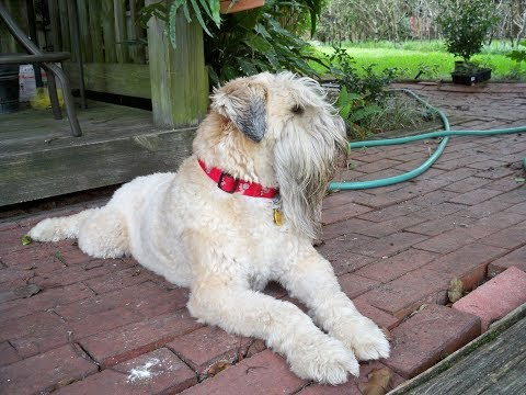 Irish Soft Coated Wheaten Terrier / Dog Breed