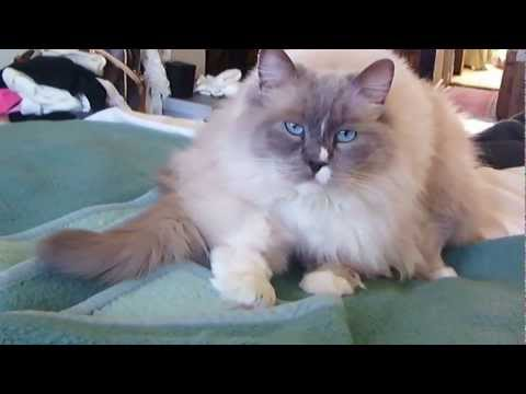 The most Gorgeous, Handsome and big Ragdoll cat ever !