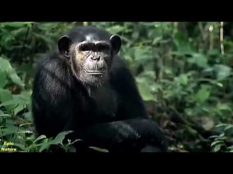 Documentary Apes HD 2017 - A Chimpanzees