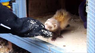 Biting Ferret! Clicker training for aggression