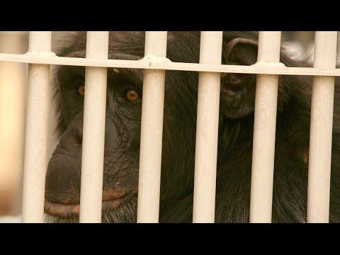 ¿un-chimpancé-con-derechos-humanos?