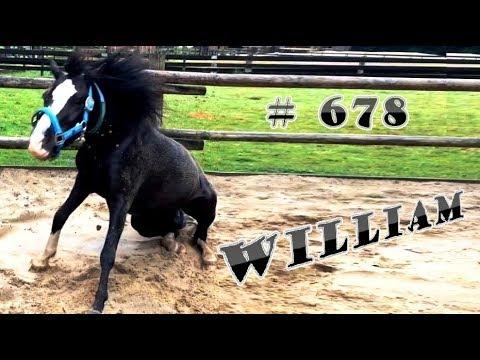 William # 678 ♥ Ponypark - zwarte Welsh pony - een van 'de vierling Daltons' - Lover video !!