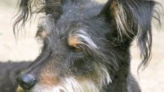 Tribute To Zoe Wirehaired Pointing Griffon Mix