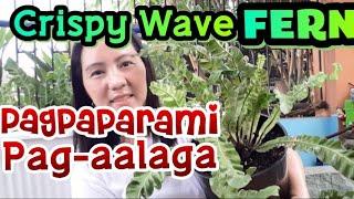 PLANTITAS and PLANTITOS Ganito pala PAGPAPARAMI AT PAG-AALAGA SA CRISPY WAVE FERN | BIRD NEST FERN