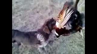 С Дратхааром на фазана