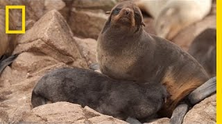 EXCLUSIVE:Fur Seals Are Back From the Brink on California Islands | National Geographic