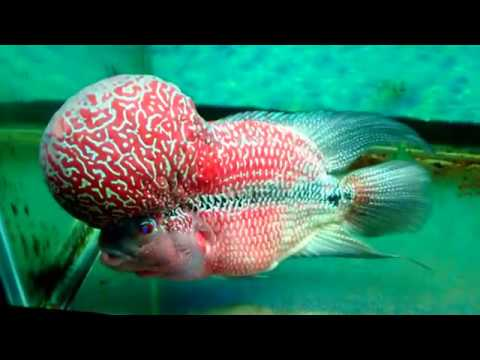 1 FLOWERHORN for SALE 5,000 At BANGALORE 9972479033