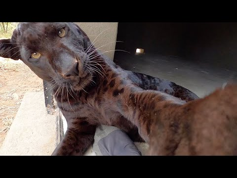 Black Leopards Scents and Sense Abilities  Touch | The Lion Whisperer